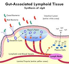 Architettura del tessuto linfoide associato all'intestino che produce IgA
